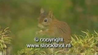 Eekhoorn - Red Squirrel - Sciurus Vulgaris