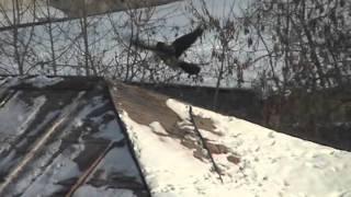 Ворона катается с горки Crowboarding (Crow Snowboarding Roof)