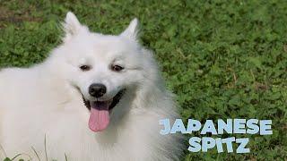 Japanese Spitz Dog Breed 101