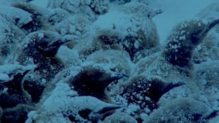 Penguins Huddle To Keep Their Eggs Warm | Natural World: Penguins Of The Antarctic | BBC Earth