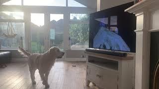 Opera dog singing with Pavarotti