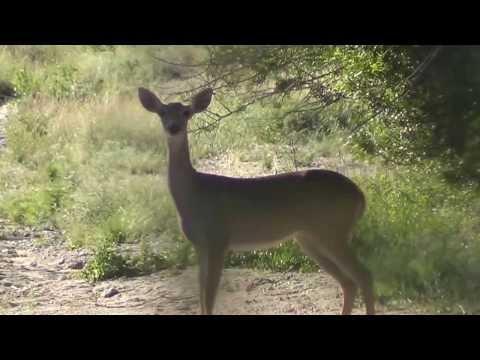 Idea and shoulder penetration whitetail confirm