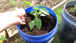 (6 of 9) Growing Tomatoes & Peppers: Pepper Planting, Container Soil, Basic Feeding, Tomato Progress