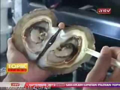 Proses Panen Mutiara - Pusat Mutiara Lombok - www.pusatmutiaralombok.blogspot.com