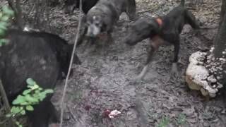 Southern cur dogs working hogs