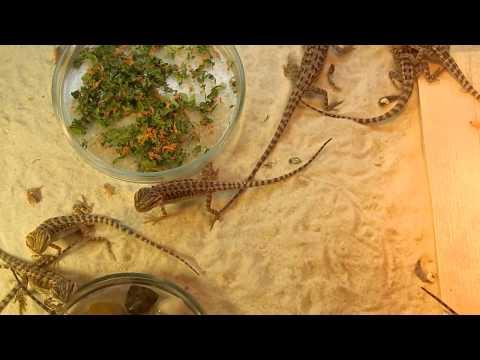 видео: Малышы бородатой агамы истребляют сверчков