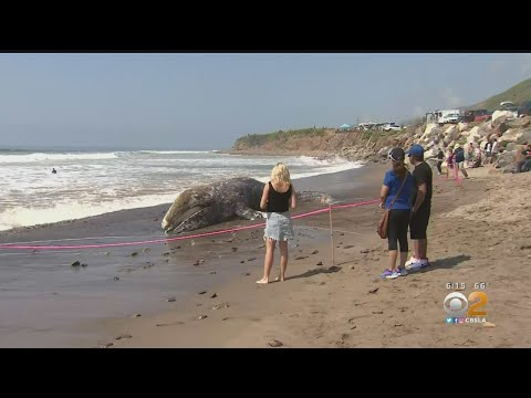 Kari Steele - Dead Whale On Malibu Beach Attracts Crowds