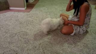 Charlie Montage - Pomeranian X Maltese