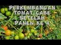 Perkembangan Tanaman Tomat Cabe Petikan Ke   Mp3 - Mp4 Download