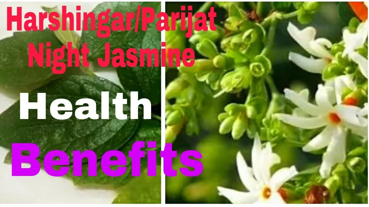 Health benefits of harshingarparijatnight jasminemy weekend video health benefits of harshingarparijatnight jasminemy weekend video hindi izmirmasajfo