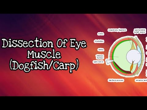 Dissection Of Eye Muscle (Dogfish/carp)