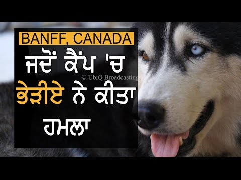 Wolf Attack On Camp In Banff National Park || TV Punjab
