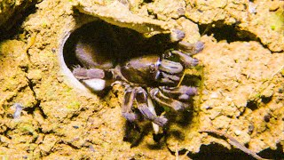 Trapdoor Spider Seizes Insect | The Dark: Nature's Nighttime World | BBC Earth