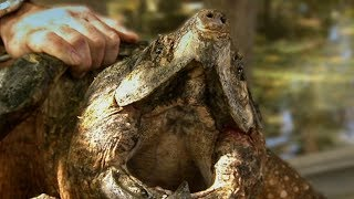 Snapping Turtle is a Fish