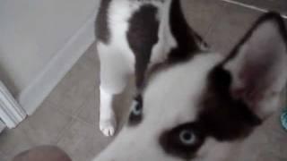 Bruin - Siberian Husky / Border Collie Mix