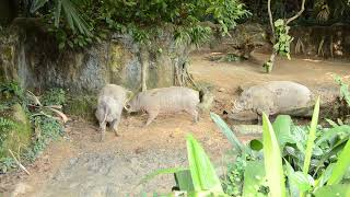 Singapore ZOO - Babirusa fight