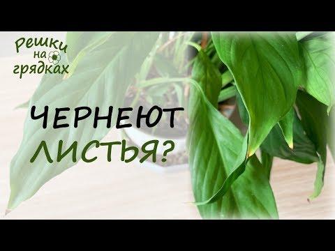 Чернеют листья спатифиллума