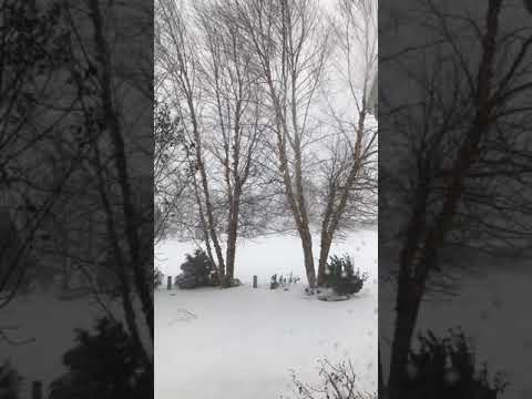 Birch Trees Swaying in the Snow Storm