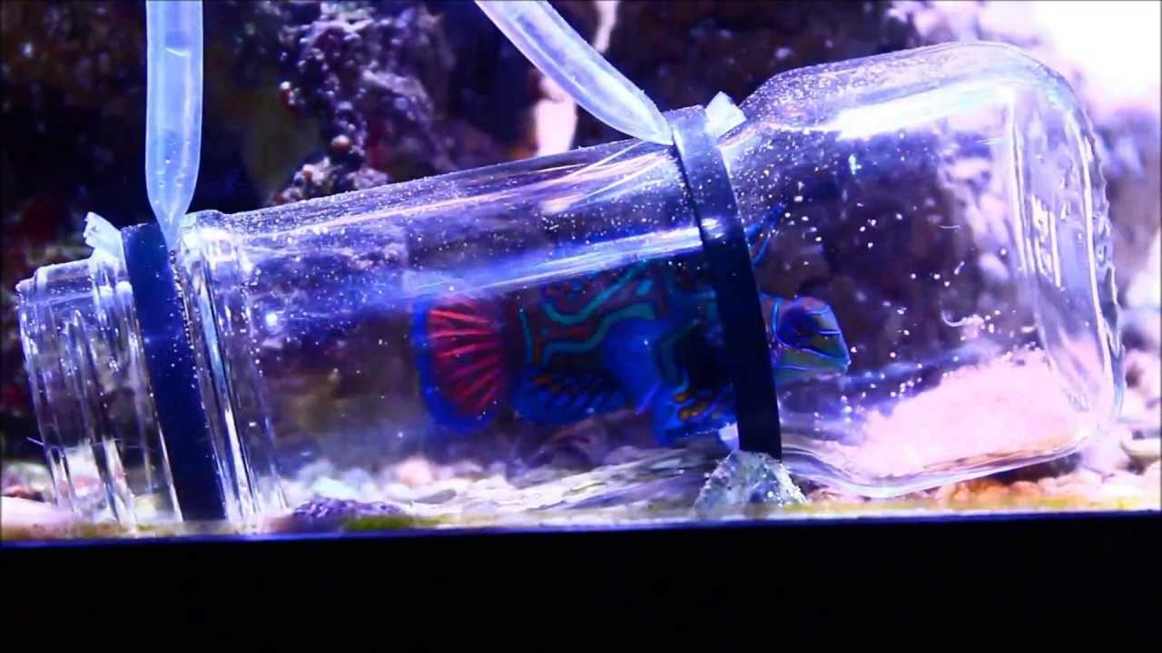 Feeding Green Mandarinfish with Lobster eggs in a jar - YouTube