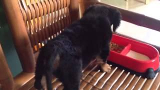 Bash: Dachshund Poodle Mix