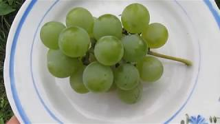 Первый урожай винограда