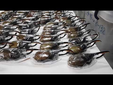 헤라클레스장수풍뎅이!!!!   최상의 곤충!!!!   @@;;;  몇마리야????