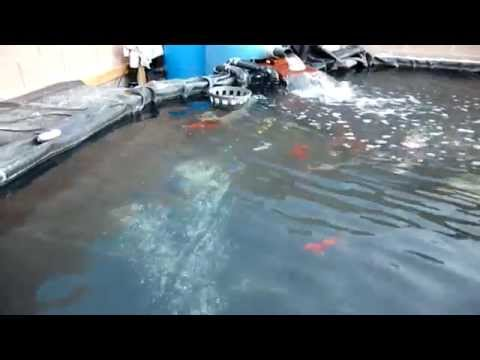 Salting Your Koi To Keeps Healthy
