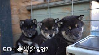 We visited the Oldest Shiba Dog House in Korea/ Black Tan Shiba babies... Should we adopt one?