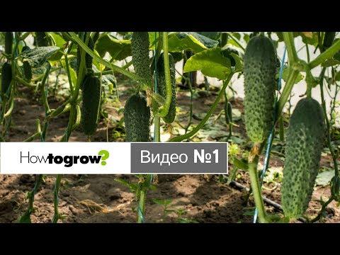 Выбор гибридов огурцов для выращивания в теплице