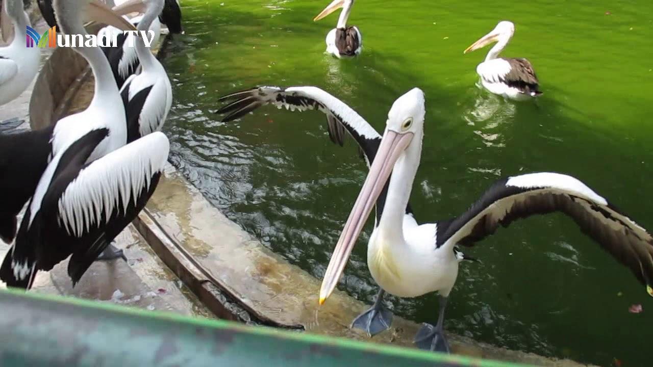 Burung Pelikan Pemakan Ikan Di Ragunan Youtube