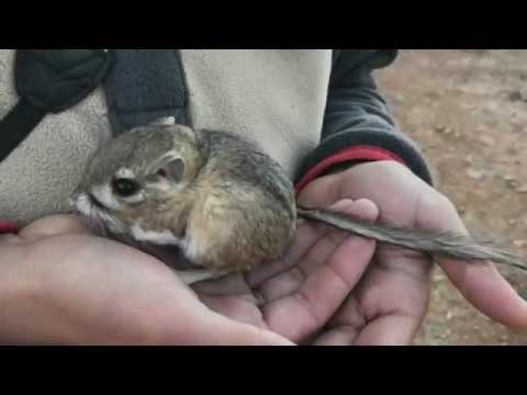 San Quintin kangaroo rat rediscovered in Baja California