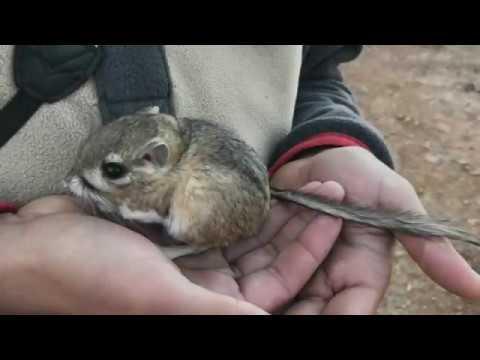 San Quintin Kangaroo Rat Rediscovered In Baja California Youtube