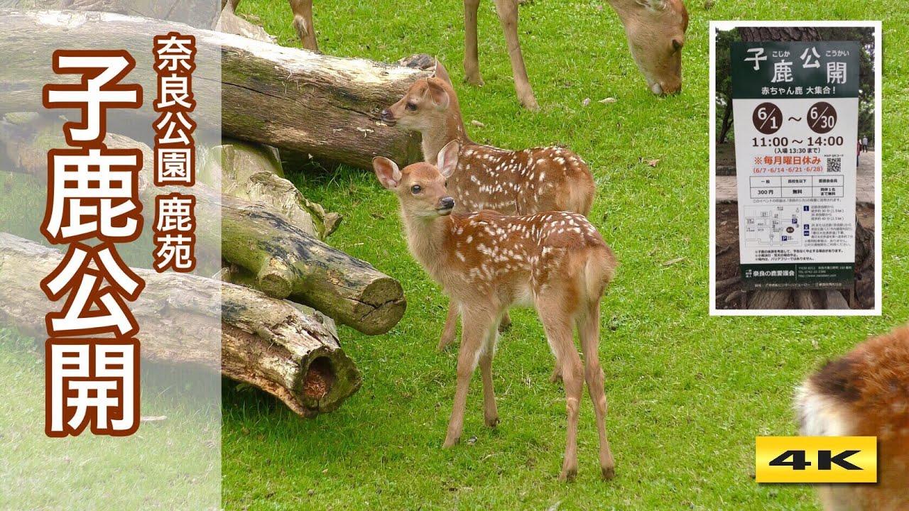 2年ぶり 子鹿公開 2021 赤ちゃん鹿 大集合!奈良公園 鹿苑【4K】
