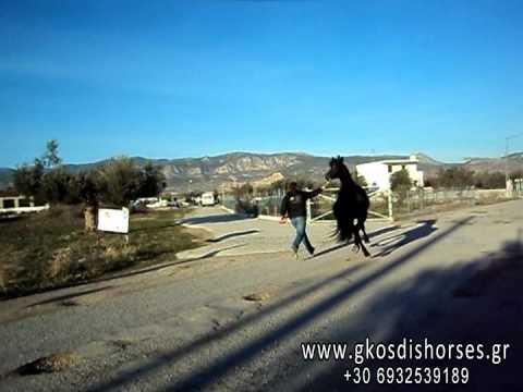 Επιβήτορας Friesian 3,5 ετών - www.gkosdishorses.gr Άλογα Γκοσδής