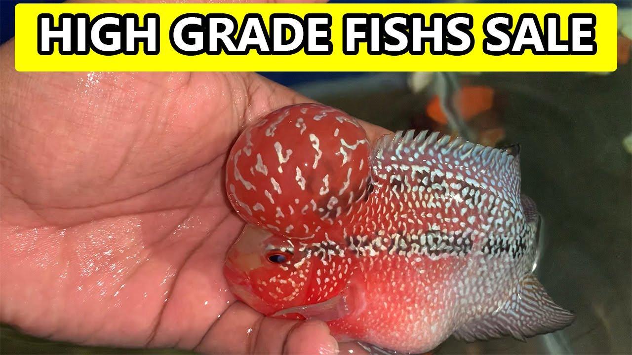 High Grade Flowerhorn Fishs Sale | Hornfishnation