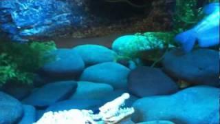 My Coffee Table Fish Tank With Musk Turtles And African Clawed Frogs