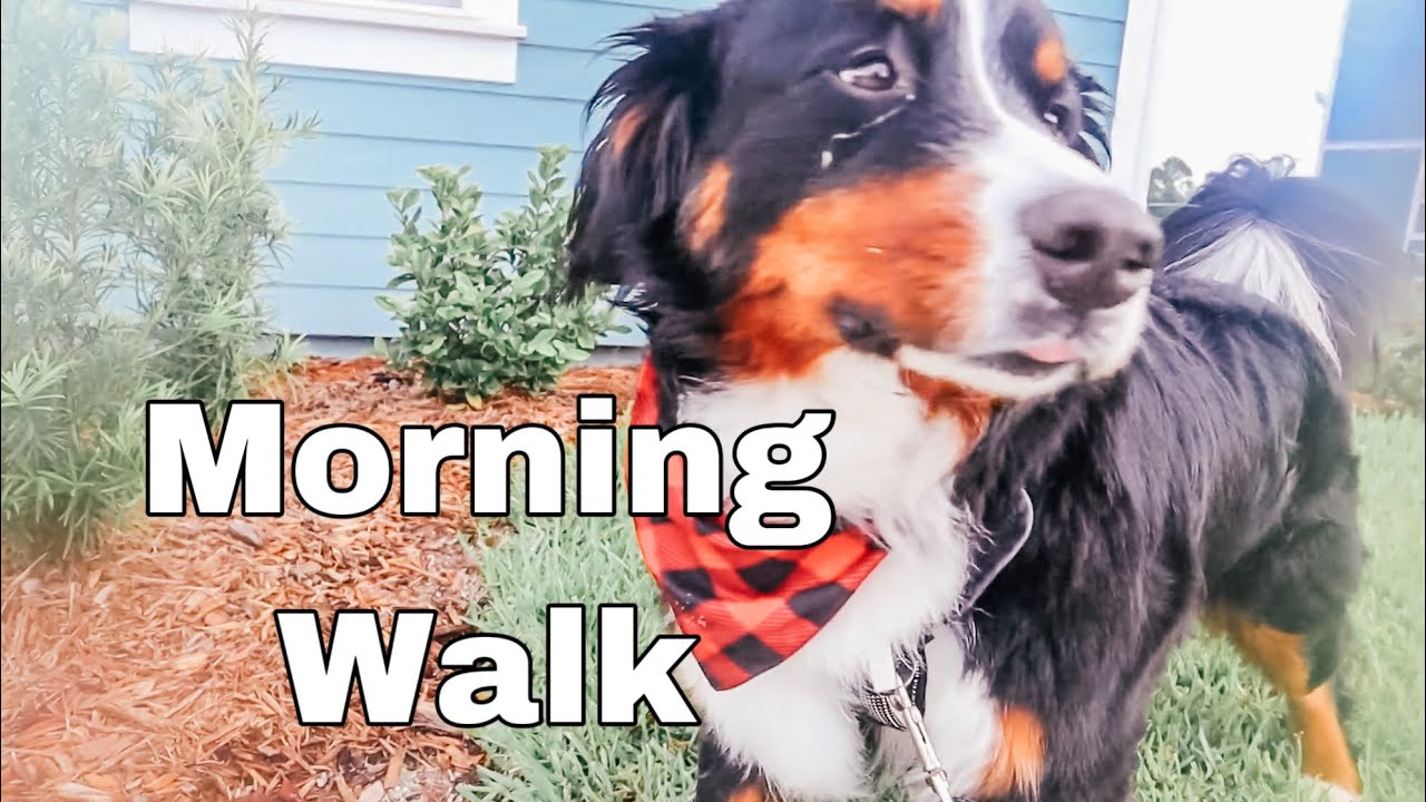 Morning Walk With A Bernese Mountain Dog