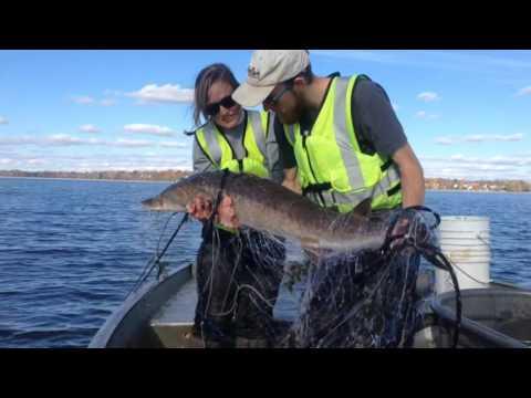 Netting sturgeon on Onondaga Lake