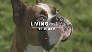 all-about-living-with-boxer-dogs