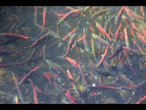 Taylor Creek Salmon Run, Lake Tahoe