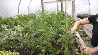 how to support or stake your tomato plants and companion planting