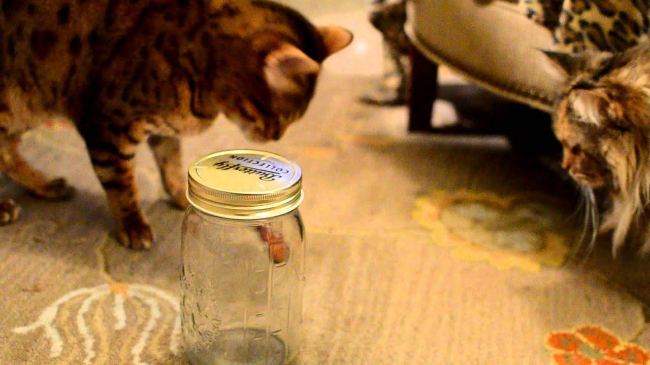 Butterfly In Jar Cat Toy