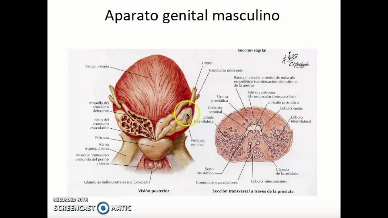 Anatomia aparato genital masculino - YouTube