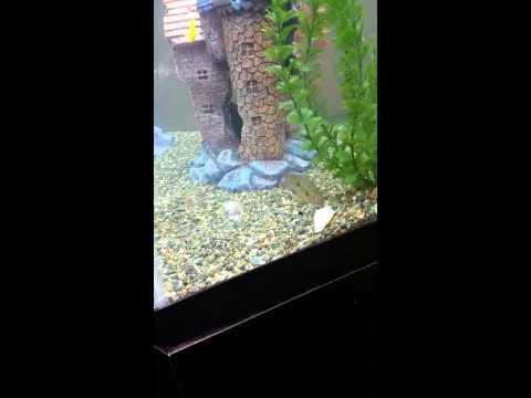 Jewel cichlids eating  fish.