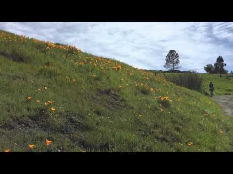 Redwood Regional Park Poppies