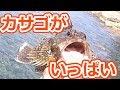 カサゴをもりもり釣りました。 の動画、YouTube動画。