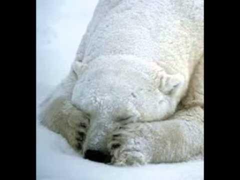 fram ursul polar film cezar petrescu