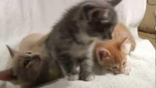 Котята от мейн-куна и сибирской кошки