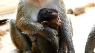 Adorable Poor Baby David Monkey Mother No Feeding and Weaning Baby Crying Loudly