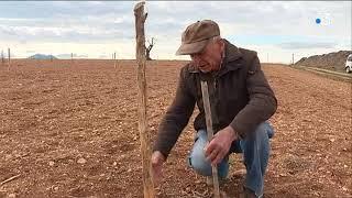 35 plants d'olivers volés dans les Alpes de Haute-Provence